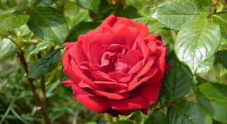 Чем подкормить розы осенью перед укрытием на зиму