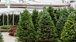 Как ухаживать за новогодней елкой