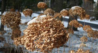 Нужно ли обрезать и укрывать садовые гортензии осенью