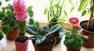 How to get rid of gnats in indoor plants