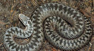 Как выглядит змея гадюка обыкновенная