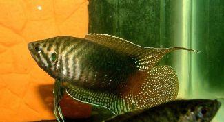 Макропод: родина рыбки, фото, описание