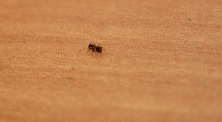 Как избавиться от муравьев в жилых помещениях