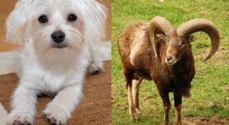 Сочетание гороскопов: Собака-Козерог