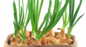 Зеленый лук на подоконнике: полезные советы