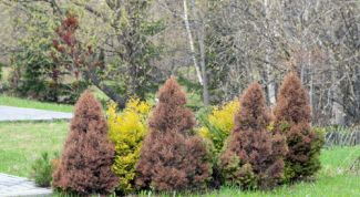 Conifers turn yellow in the spring, what to do?