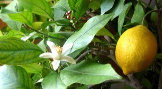 Почему опадают листья у комнатного  лимона