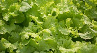 Когда можно сеять салат в теплице