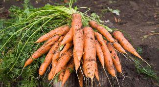 Как вырастить морковь на огороде
