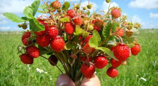 The strawberries: buying, planting and care