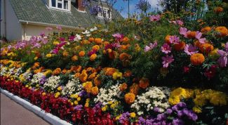 The most undemanding annuals that are grown without the seedling
