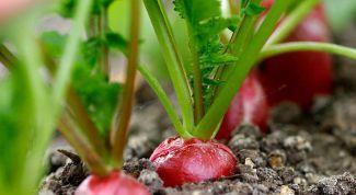 Секреты выращивания редиса ранней весной