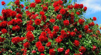 Важные советы по уходу за розами