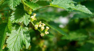 Чем подкормить смородину, малину и крыжовник весной