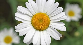The healing properties of chamomile