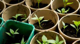 Как правильно пересадить рассаду в грунт