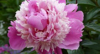 When is the best time to transplant peonies in the spring or autumn