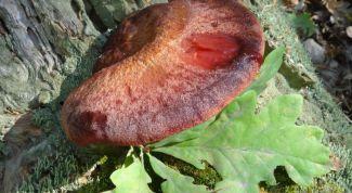 Как собирать и готовить мясные грибы