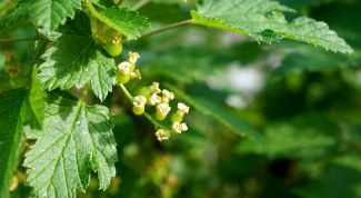 Why the leaves of currant red spots