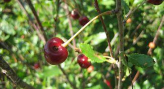 Болезни вишневого дерева и как с ними бороться