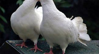Народные приметы о голубях
