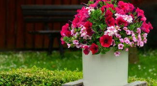 When to plant Petunia street