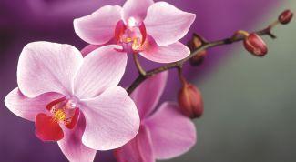 Как лучше всего пересаживать орхидеи
