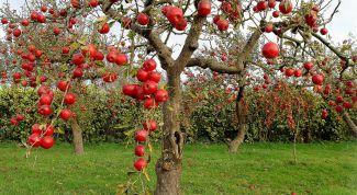 Как нужно сажать фруктовые деревья