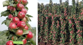 Growing columnar Apple trees