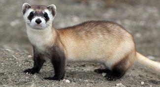 Ferret: set up an unusual pet