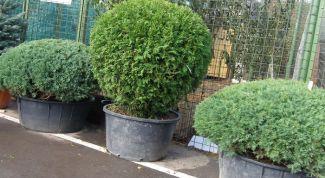 Ornamental shrubs in pots