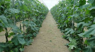 Why yellow leaves of the cucumbers in the open ground