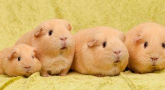 Морские свинки – домашние любимцы