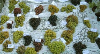 Varieties of grapes for a vegetable garden