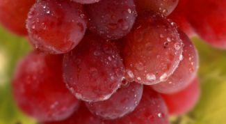 «Блестящий» сорт винограда