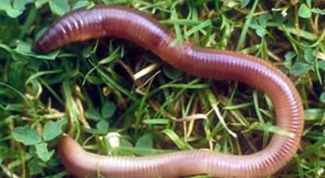 Assistant for flowers and garden. Earthworm