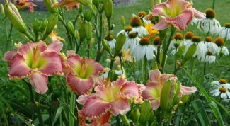Day lilies - fashion undemanding perennial for the garden