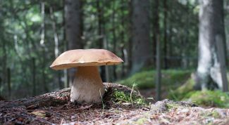 Нужно ли варить белые грибы и подберезовики перед жаркой