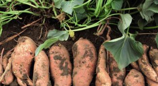 A familiar way to grow sweet potatoes