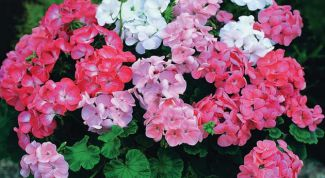 Обрезка герани для пышного цветения