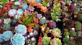 Суккуленты как украшение сада