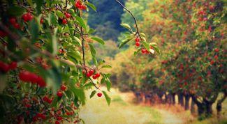 Спасаем урожай вишни