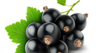 Tips on growing black currants