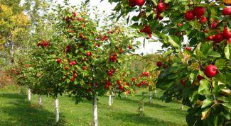 Секреты правильной закладки плодового сада