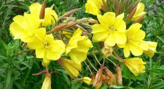 Косметический цветок — примула вечерняя