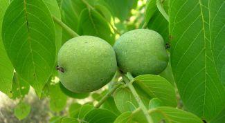 Как очистить организм с помощью листьев грецкого ореха