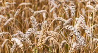 Какие крупы делают из пшеницы