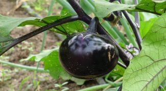 Как определить спелость баклажана на кусту