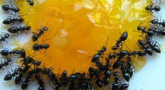 Как избавиться от муравьев в квартире самостоятельно