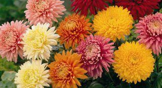Простой способ вырастить хризантемы